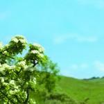Weißdorn – die Pflanze fürs Herz